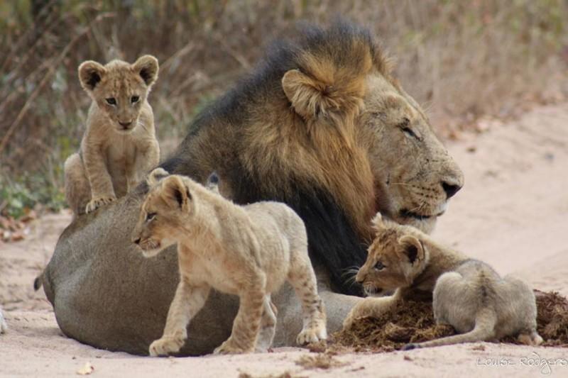 lh-othwa-cubs-majingilane-male