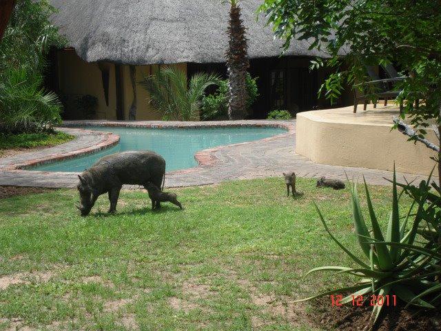 kambaku-warthog