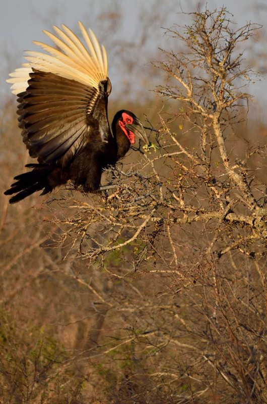 Kambaku-river-southern-ground-hornbill