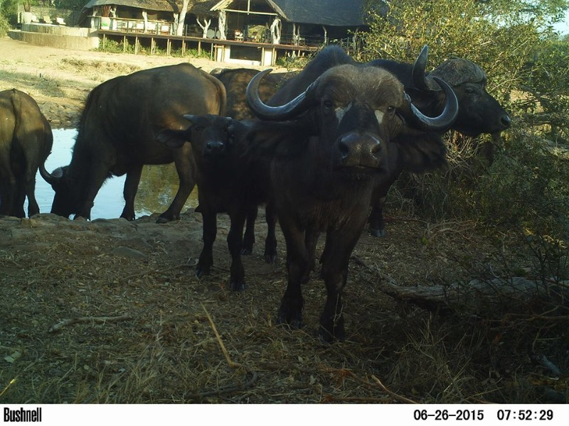 kambaku-river-sands-buffalo-in-camp