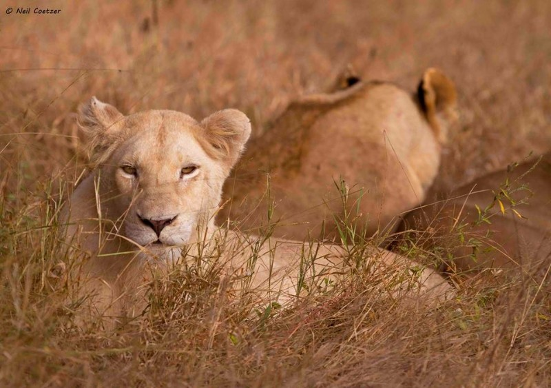 kambaku-river-sands-famous-white-lions-of-the-timbavati