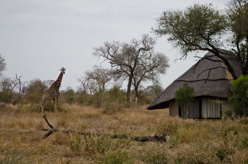kambaku-river-sands-giraffe-in-camp