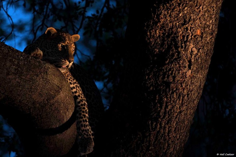 kambaku-river-sands-leopard-at-night