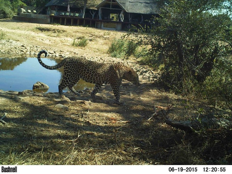 kambaku-river-sands-leopard-in-camp