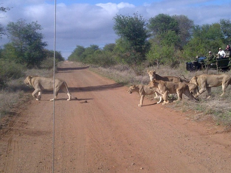 kambaku-river-sands-lions-crossing-road