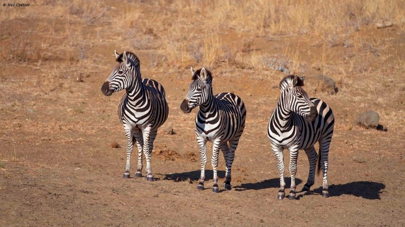 kambaku-river-sands-zebra