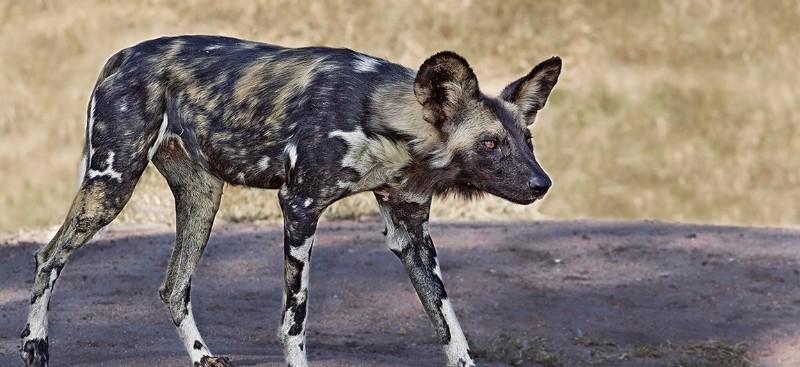 arathusa-wild-dog