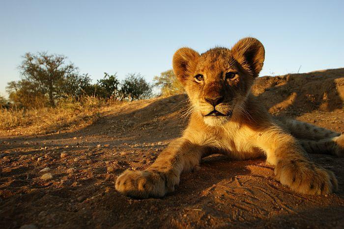 Kruger-Park-Lion-cub-48293726