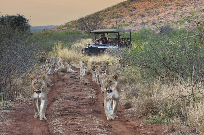 tuningi-wildlife-lions-vehicle
