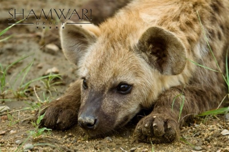 jock-game-wildlife-spotted-hyena