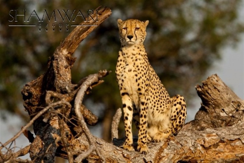 jock-wildlife-cheetah
