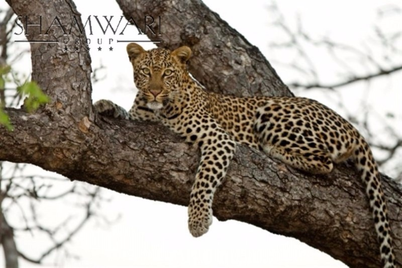 jock-wildlife-leopard-tree