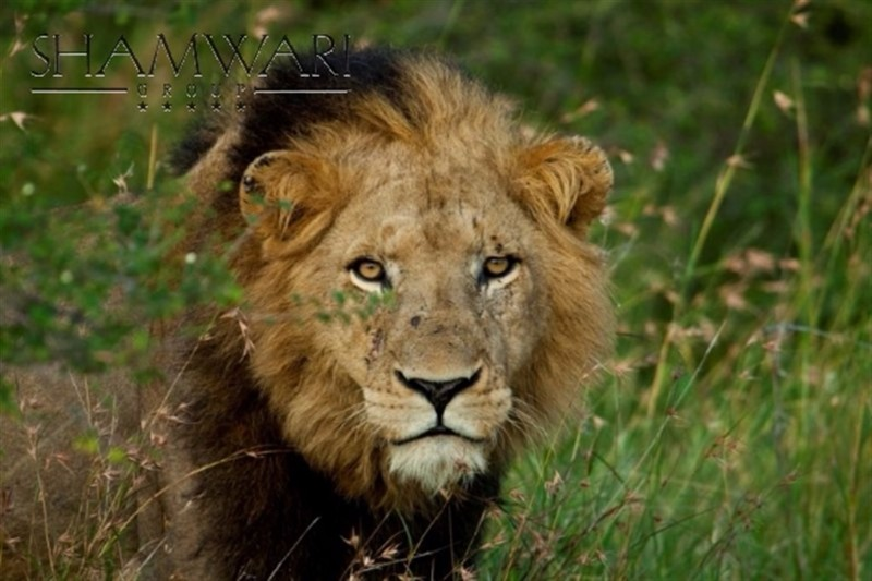 jock-wildlife-lion-king-of-the-jungle