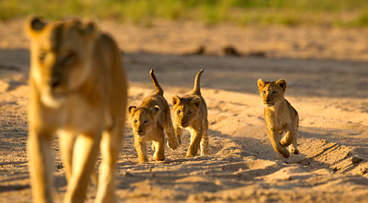 Jock_Safari_Lodge_LionCubs