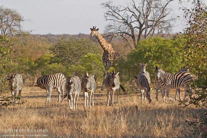 giraffe-and-zebra
