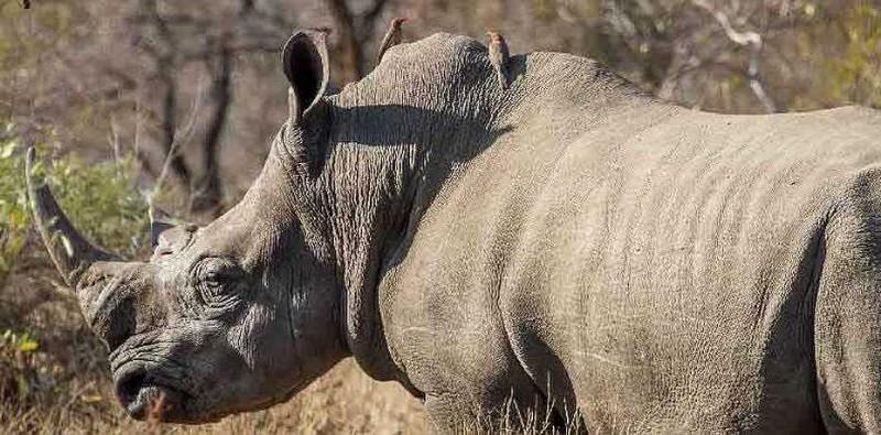 rhino-ndzuti-safari