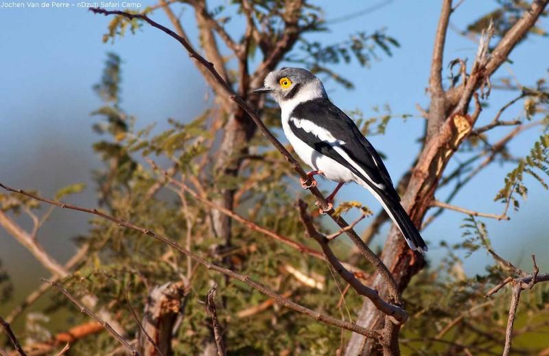 white-crested-helmet-shrike