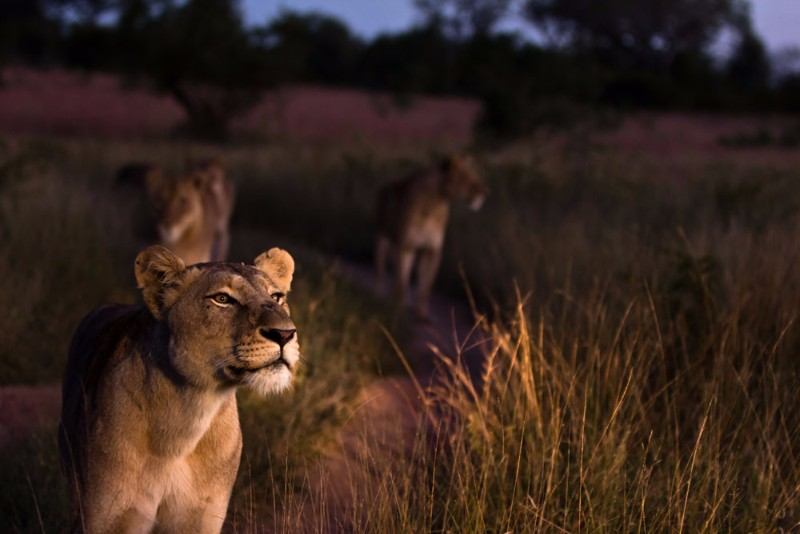 Lion-10_1