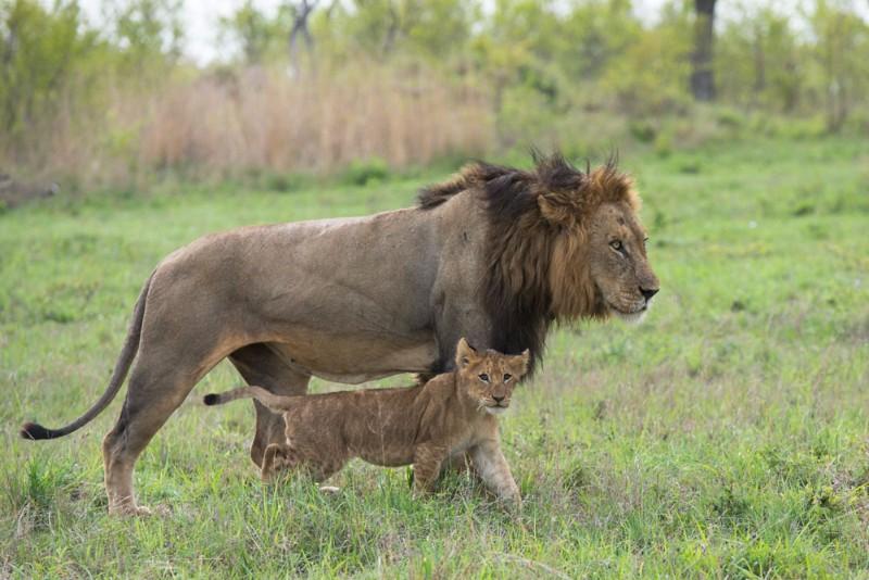 Lion-5_1