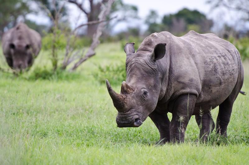 White-Rhino-1