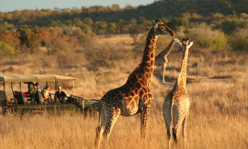 safari-view-of-giraffes