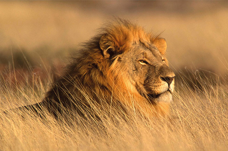 lion-in-the-kruger-makuleke-contractual-park