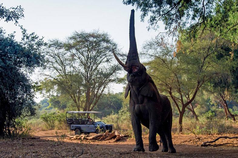makuleke-elephant-reaching-into-the-pafuri-trees