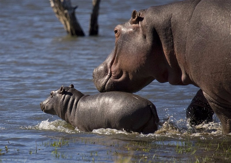 HIPPOS-IN-THE-RIVER