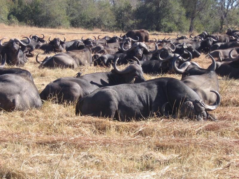 Umkumbe-Safari-Lodge-Buffalo-Herd