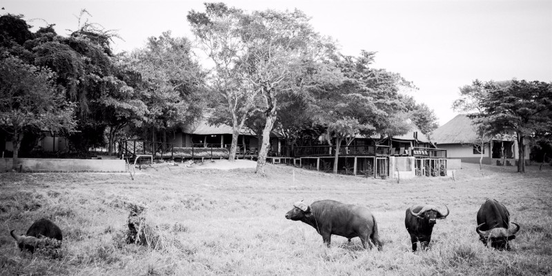 Umkumbe-Safari-Lodge-Buffalo-in-front-Lodge