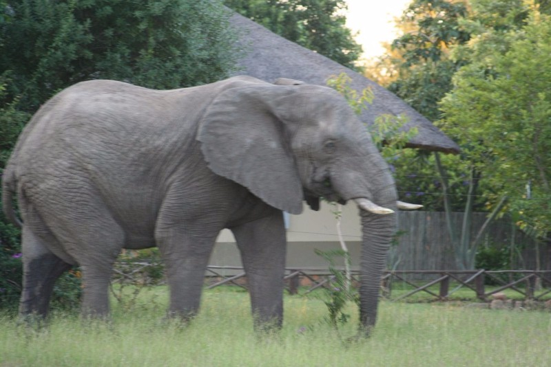 Umkumbe-Safari-Lodge-Elephant-Walk-Past-Lodge