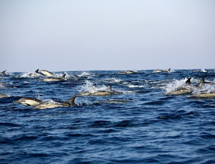 dolphins-700x533