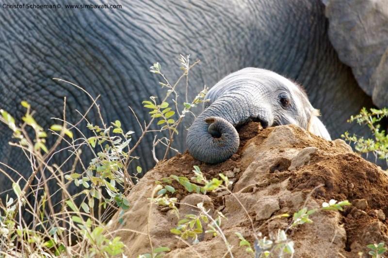simbavati_river_lodge_baby-elephant