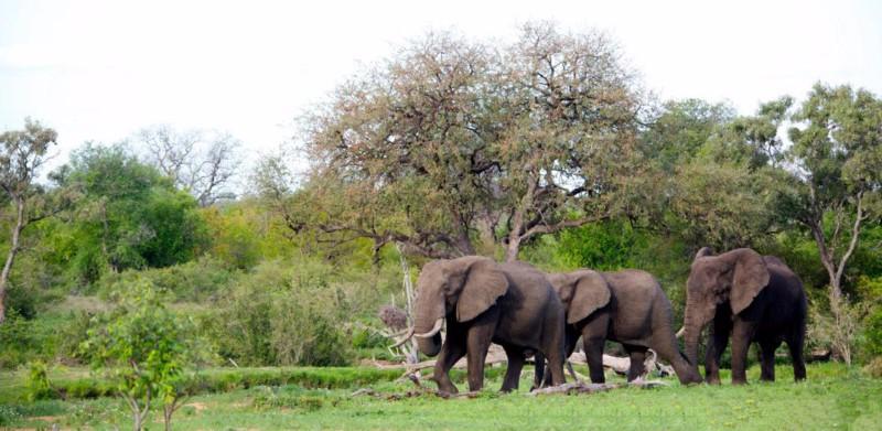 simbavati_river_lodge_elephants