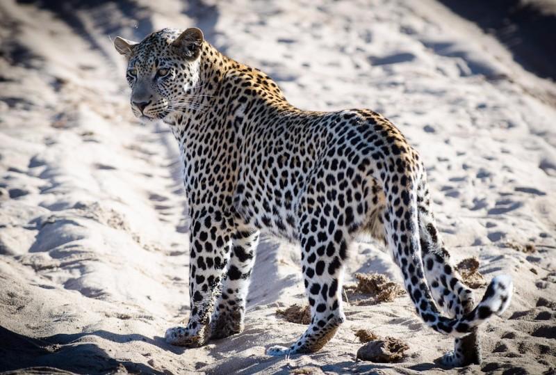 simbavati_river_lodge_game-viewing-leopard