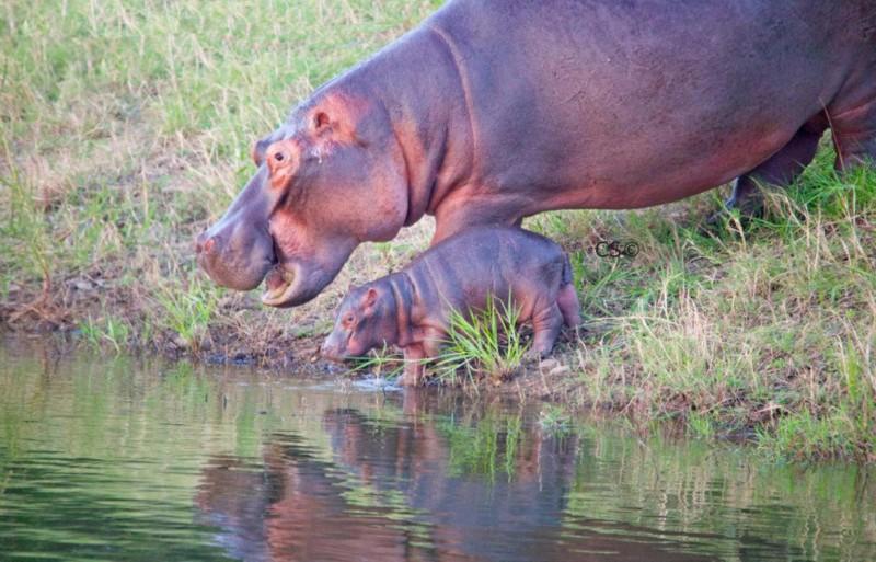 simbavati_river_lodge_hippo-outside-of-water