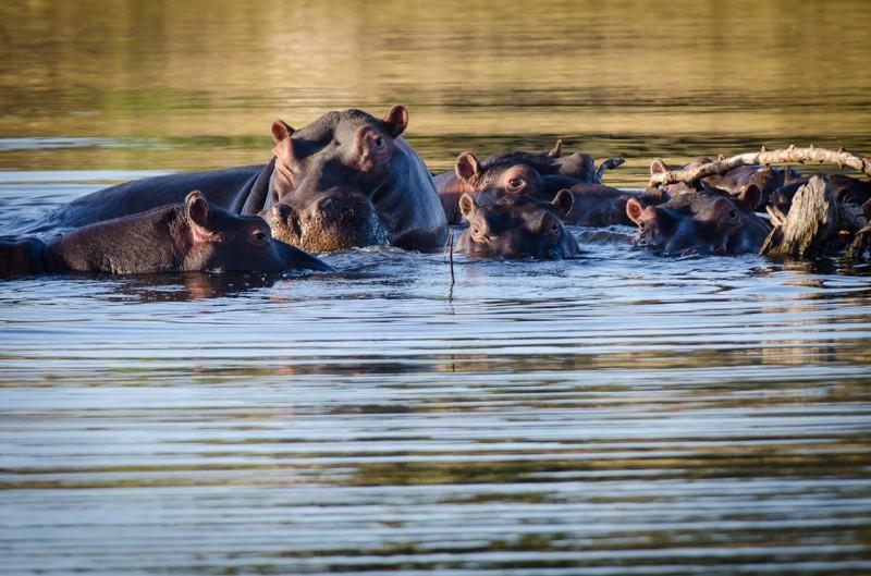 simbavati_river_lodge_hippo