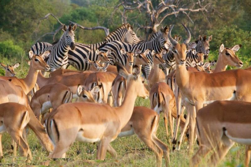 simbavati_river_lodge_impala-and-zebra