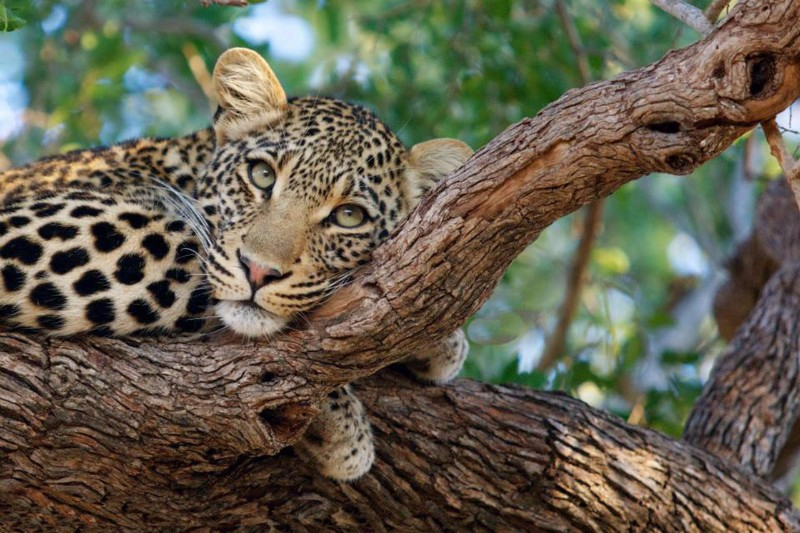 simbavati_river_lodge_leopard