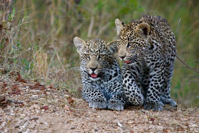 simbavati_river_lodge_leopards