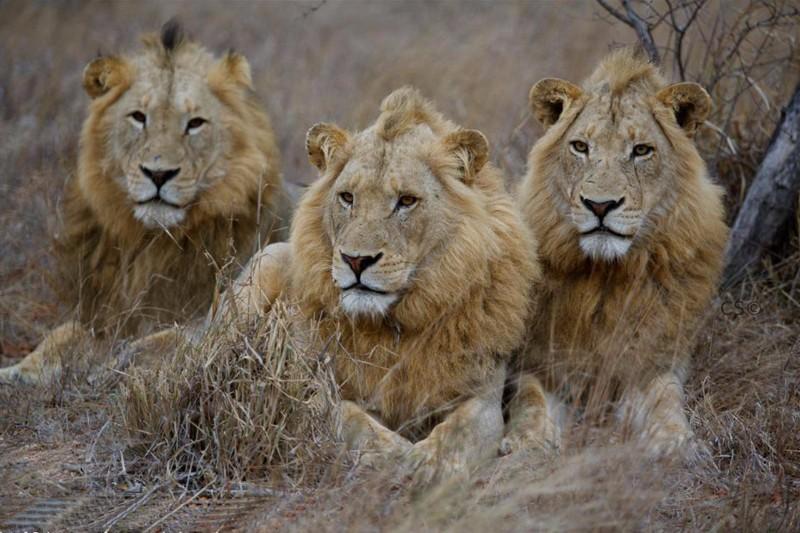 simbavati_river_lodge_lions