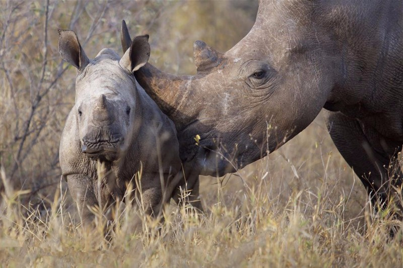 simbavati_river_lodge_rhino