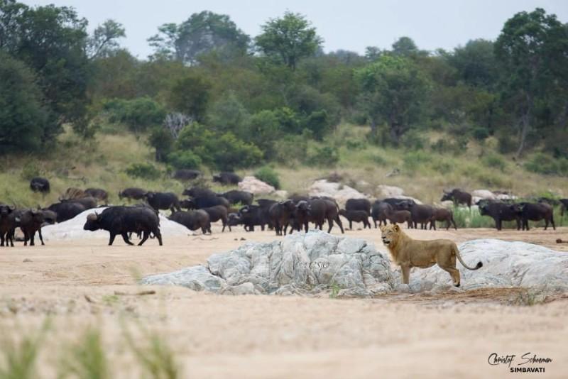 Lion_Buffalo
