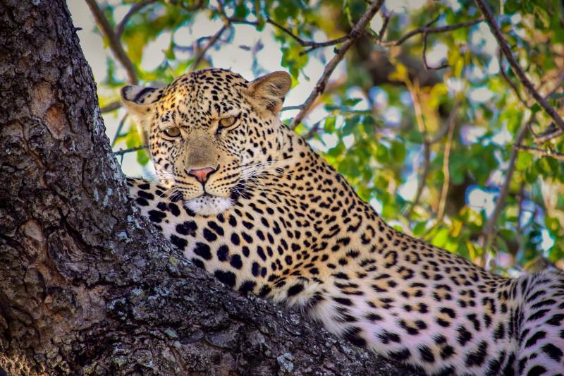 ngala-leopard