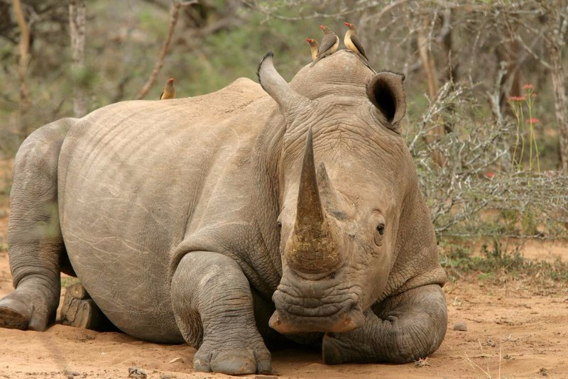 ngala-rhino-notching