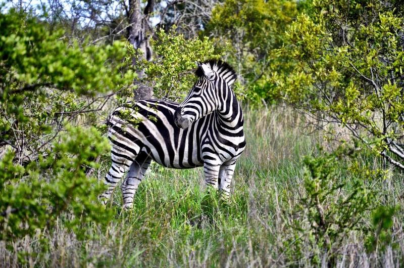 ngala-zebra