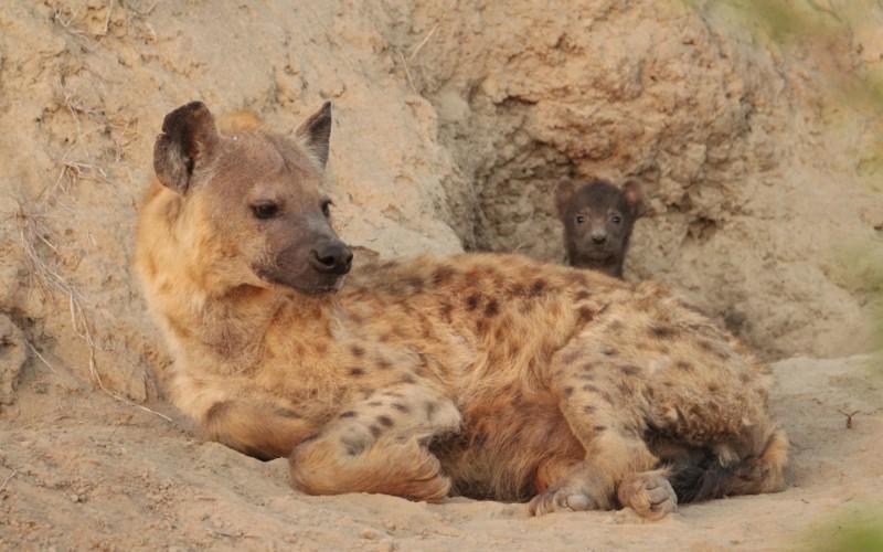 Hyena-960x600_c
