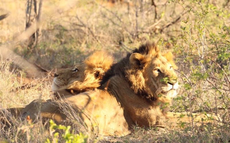 Lion-960x600_c