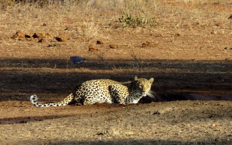 Local-Leopard-960x600_c