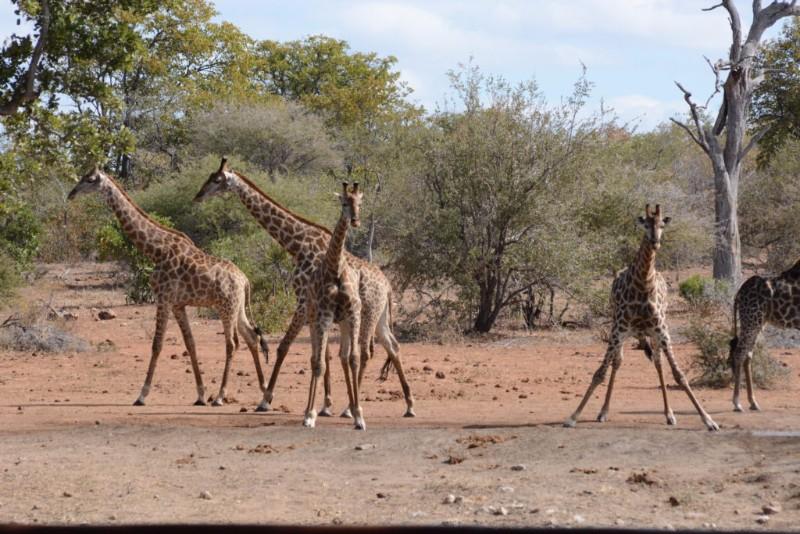 Southern-giraffe-1024x683